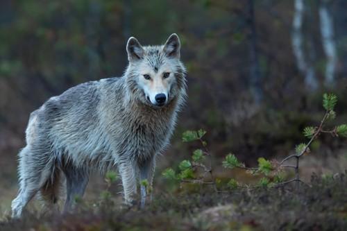 Por que aullan los lobos