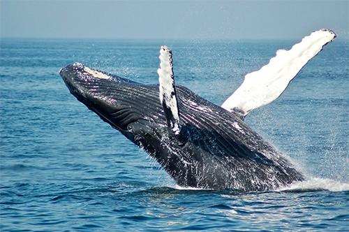 Por que cantan las ballenas