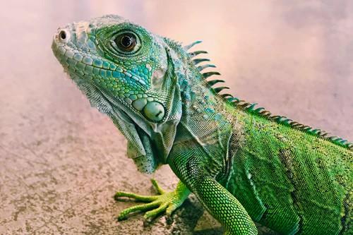 Por que las lagartijas pierden su cola