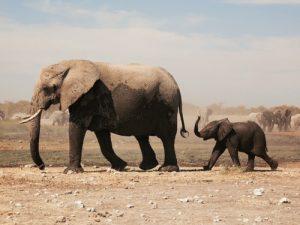 Por que los elefantes tienen trompa