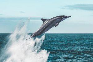 Por que saltan los delfines